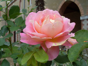 Rose 300