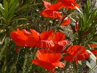 coquelicots3-abbaye-maumont