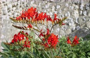 fleur__abbaye_de_maumont