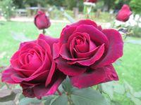 oriocourt roses 01