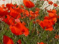 coquelicots abbaye maumont