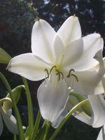 fleur blanche2 abbaye maumont